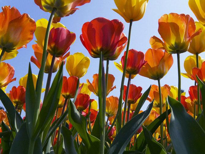گل زیبای لاله
