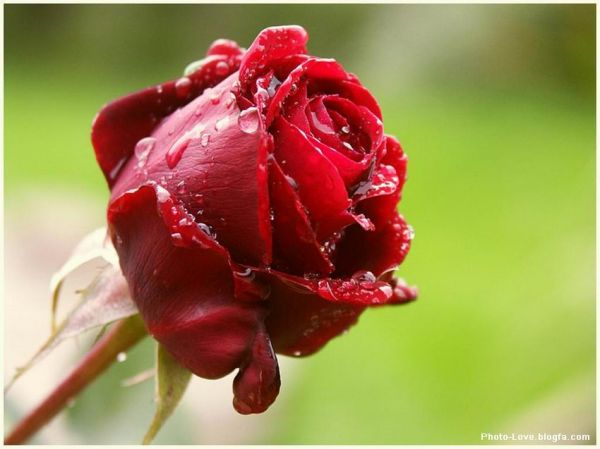 زیباترین گل