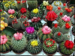 عکس فواید نگهداری گل کاکتوس