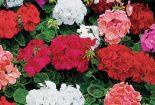 طرزمراقبت از گلهای شمعدانی