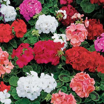 طرزمراقبت از گلهای شمعدانی وچگونگی پرورش دادن انها ونیازهای محیطی گل شمعدانی