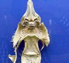 تا به حال ماهی شیطانی را دیده اید؟ درپورتال جامع فرانیازفراترازنیازهرایرانی