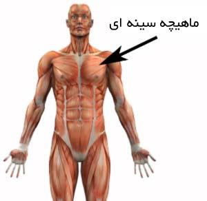 عکس ورزشهای سفت کردن عضلات سینه