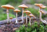 درمان افسردگی با قارچ های جادویی